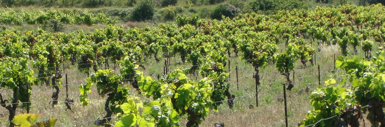 La prospection du vignoble par les GDON - exemple en Gironde